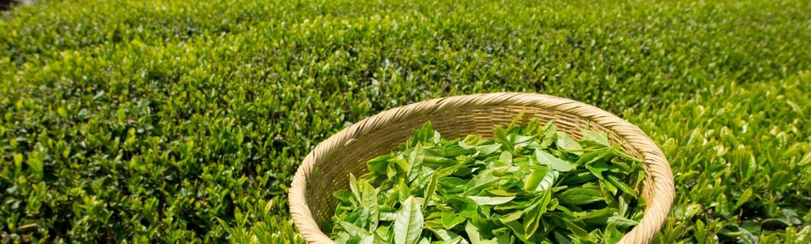 tea-leaves-field-basket-crop.jpg