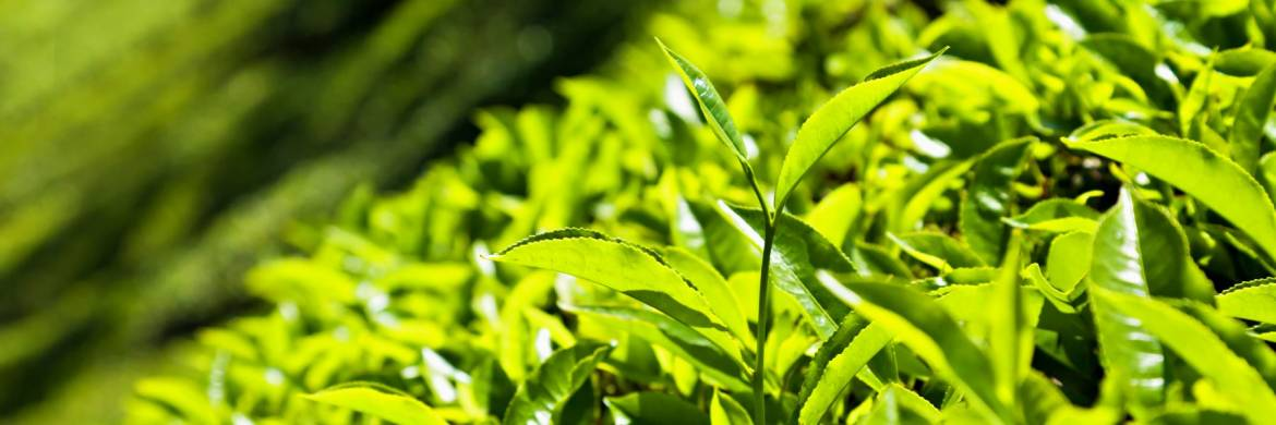 tea-leaves-field-crop.jpg